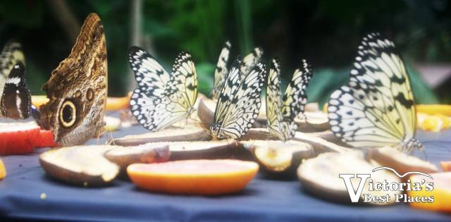Butterflies Eating Fruit