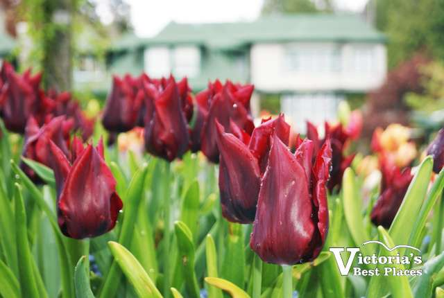 Butcharts Tulips Flowers