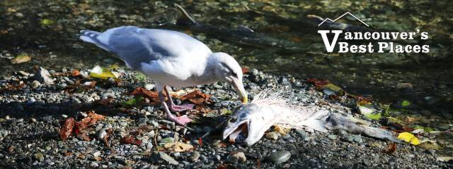 Goldstream Salmon and Seagull