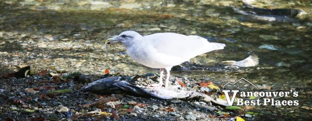 Goldstream Seagull and Salmon
